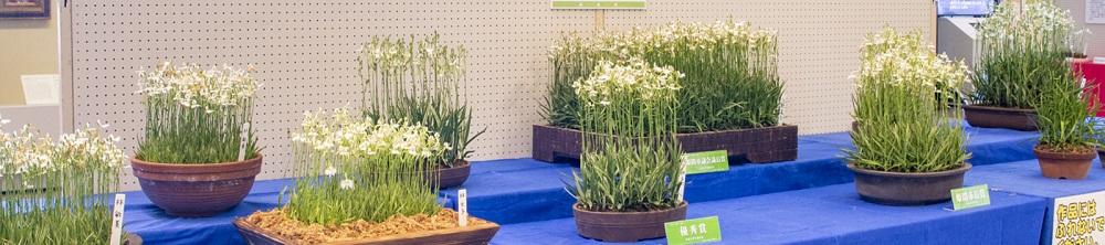 市花さぎ草栽培展イメージ画像