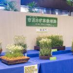 市花さぎ草栽培展画像